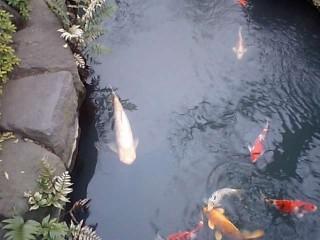 本堂横の池の巨大な鯉