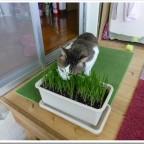 100円ショップダイソーで買った物だけで、猫草を栽培して愛猫に与えてみた。【動画あり】